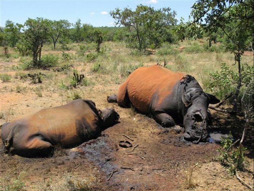 Afrique du Sud : deux Mozambicains condamnés pour braconnage de rhinocéros