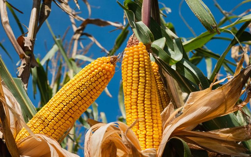 La sécheresse en Afrique du Sud génère une baisse de la production mondiale du maïs