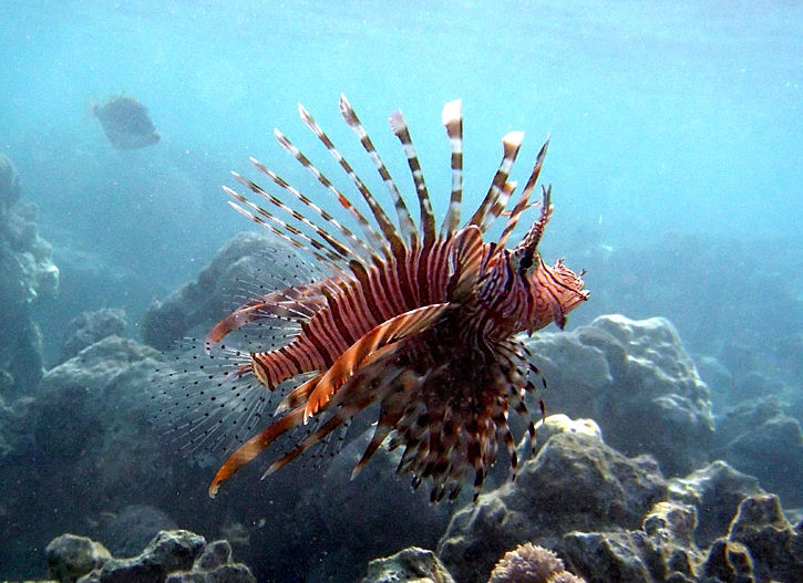 La prolifération du poisson lion en Méditerranée inquiète les écolos