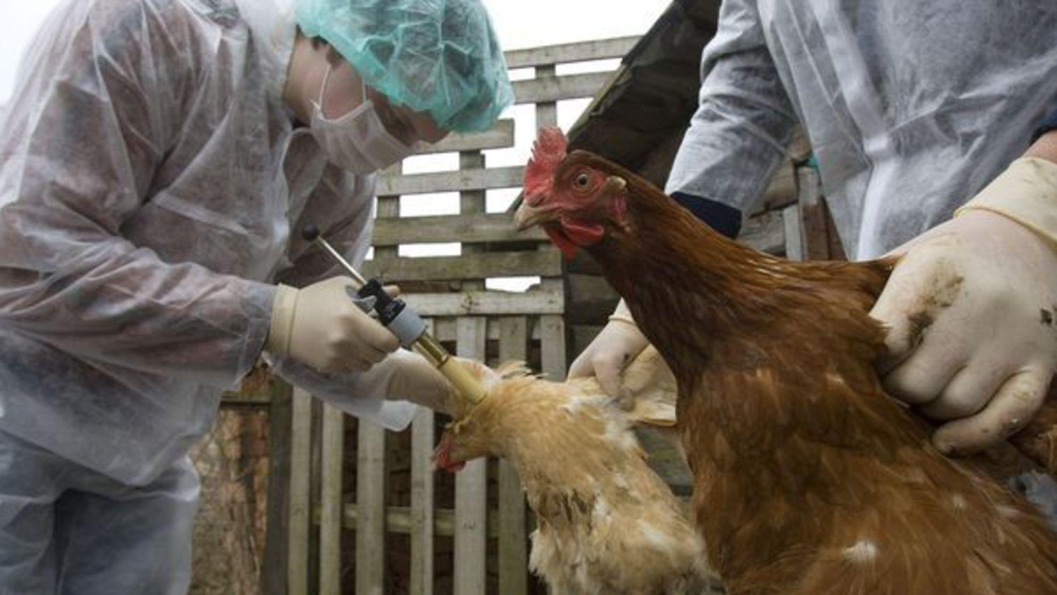 France : enquête pour tromperie aggravée liée à l'épidémie de la grippe aviaire