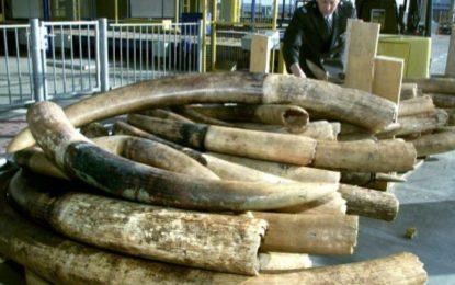 Le commerce d'ivoire brut totalement interdit aux Pays-Bas