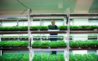 L'Etat néerlandais va produire son propre cannabis pour perturber les réseaux des trafiquants