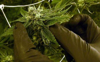Le gouvernement néerlandais recrute des cultivateurs de cannabis