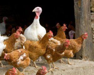 Détection d'un premier cas de grippe aviaire en France