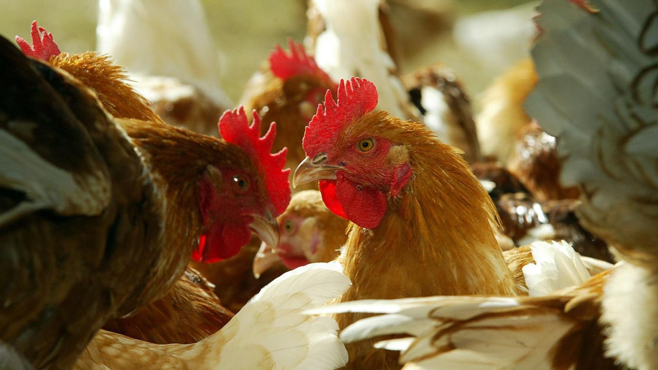 Grippe aviaire : près de 190.000 poulets abattus dans deux fermes aux Pays-Bas